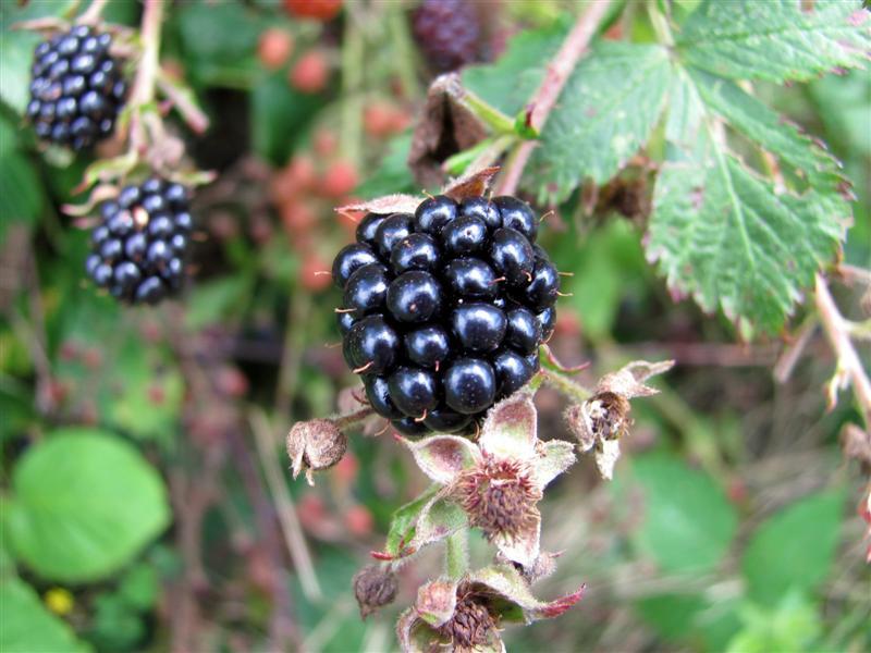 blackberry01