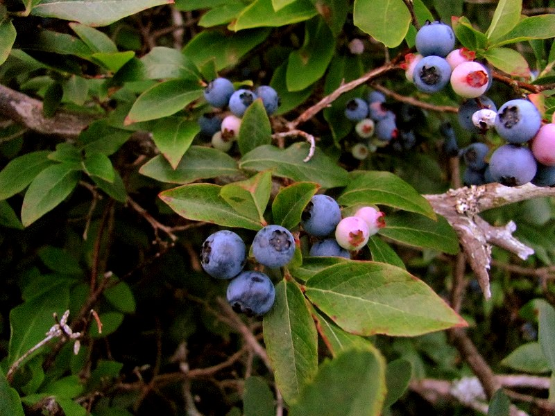 blueberries01