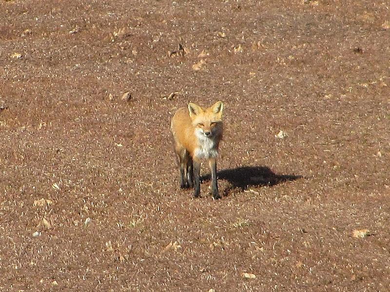fox_in_blueberry_field01