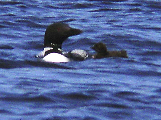 loon-and-chick-clary-lake