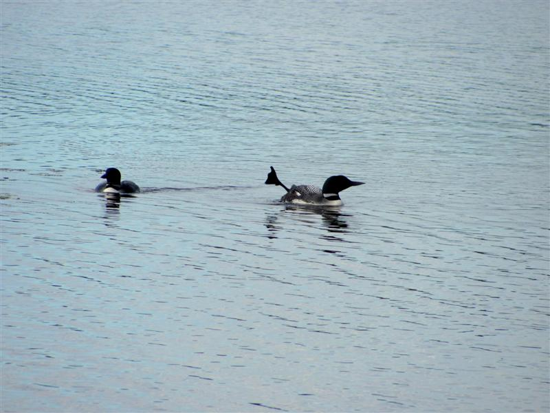 loon_foot_flapping