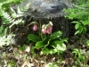 lady_slippers_002