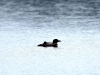 DSC_4399_loon-compressed