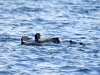 DSC_4453_loons_compressed