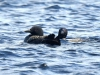 DSC_4456_loons_compressed