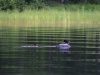 DSC_4600_loons_compressed