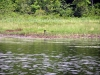 nesting_loons06212012_03