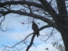 immature_eagle01