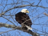 DSC_5402_Bald_Eagle_compressed